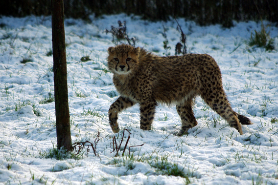 Cheetah cub not certain about snow. Photo courtesy of ZSL Whipsnade Zoo.