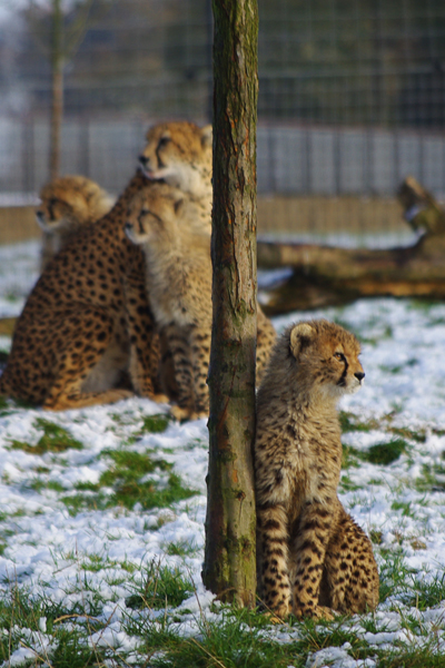 Cheetah cub with adult in background. Photo courtesy of ZSL Whipsnade Zoo.