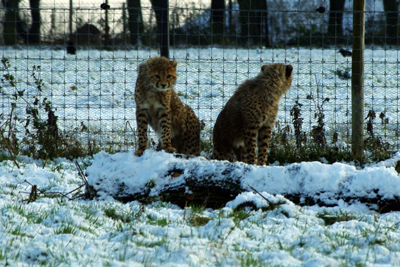 Cheetah cubs. Photo courtesy of ZSL Whipsnade Zoo.