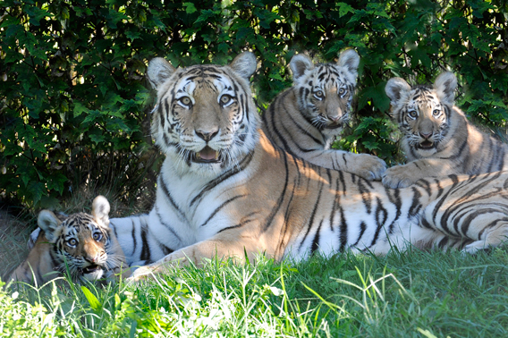 Triplets with their mom. Photo by: Julie Larsen Maher/WCS.