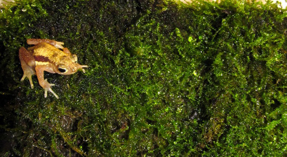 Kihansi spray toad (Nectophrynoides asperginis). Photo courtesy of Global Wildlife Conservation.