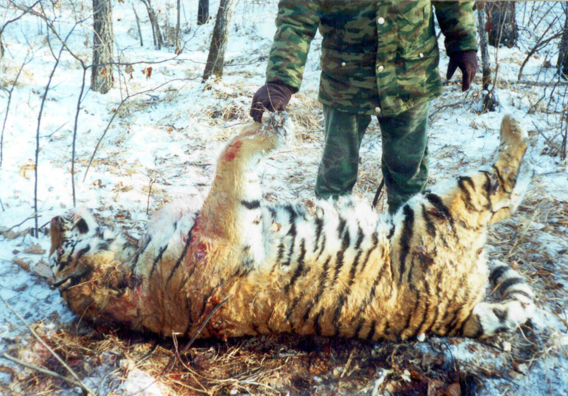 Poached Amur tiger in the region. Photo courtesy of: ZSL.