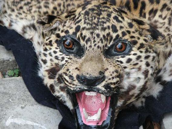 Leopard skin. © TRAFFIC.