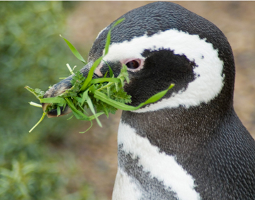 Magellanic penguin furnishing nest. Photo by: W. Conway.