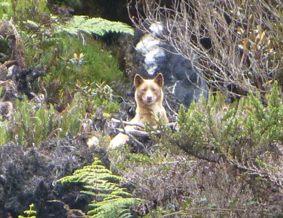 Cropped close-up of New Guinea singing dog. This is arguably the first time the dingo-like canine has been photographed in the wild. Photo by: Tom Hewitt.