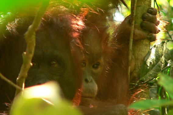 Imperiled orangutans near Sungai Wain Protection Forest. Photo courtesy of Stanislav Lhota.