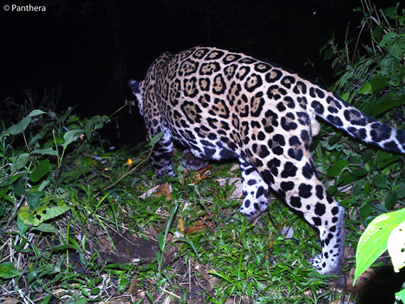 First camera trap photo of a jaguar taken by Panthera in a deforested area of Costa Rica's Barbilla-Destierro SubCorridor. Photo by: Panthera.