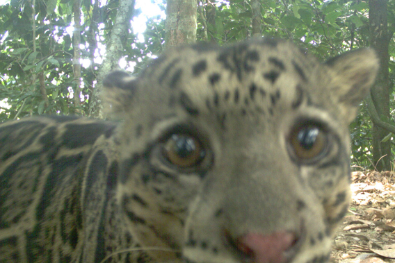 The Sunda clouded leopard (Neofelis diardi), Vulnerable . Photo by: Sabah Wildlife Department (SWD) and the Danau Girang Field Centre (DGFC).