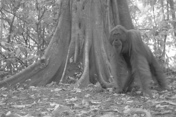 Bornean orangutan take two. Photo by: Sabah Wildlife Department (SWD) and the Danau Girang Field Centre (DGFC).