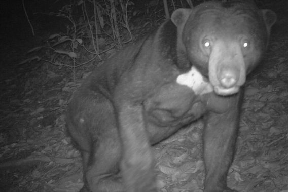 The sun bear (Ursus malayanus) is listed as Vulnerable by the IUCN Red List. Photo by: Sabah Wildlife Department (SWD) and the Danau Girang Field Centre (DGFC).