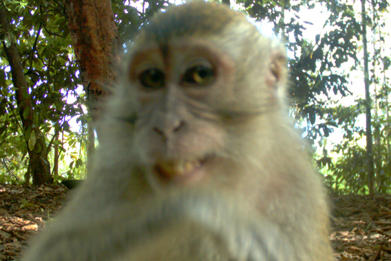 The long-tailed macaque (Macaca fascicularis), Least Concern. Photo by: Sabah Wildlife Department (SWD) and the Danau Girang Field Centre (DGFC).