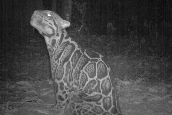 Sunda clouded leopard take two. Photo by: Sabah Wildlife Department (SWD) and the Danau Girang Field Centre (DGFC).
