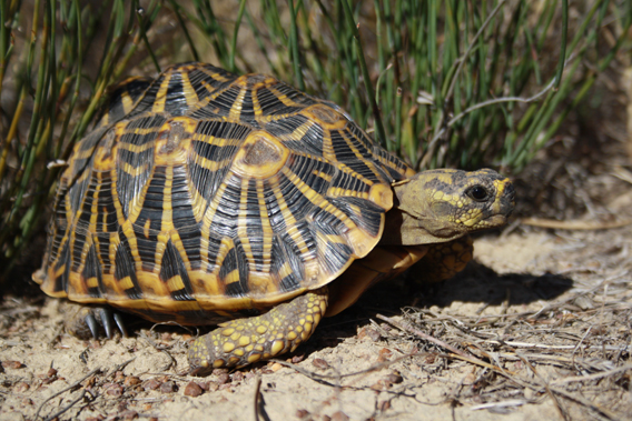 The geometric tortoise (Psammobates geometricus) has lost almost all of its habitat in South Africa. Photo by: Erik Baard.