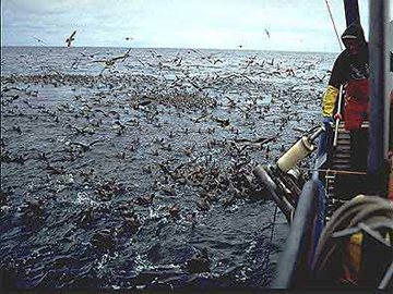 Seabirds trailing a longline vessel. Seabirds are attracted by the bait used to catch fish, but it's a lethal attraction. Photo by: NOAA.