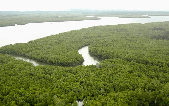 Mangrove forest in Sungai Lob. Photo courtesy of Stanislav Lhota.