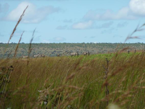 Upemba's zebras. Photo courtesy of the FZS.