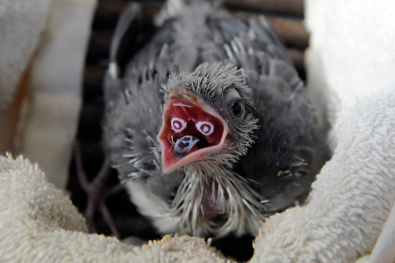 A crested coua chick at the Wildlife Conservation Society's Central Park Zoo showing off its unique oral markings. Photo by: Julie Larsen Maher.