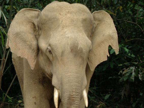 Jerek, one of MEME's collared elephants. Photo courtesy of Ahimsa Campos-Arceiz.