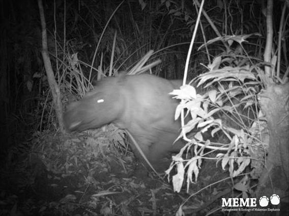 Sumatran rhino in Indonesia. A few individuals of Sumatran rhino may still persist on mainland Malaysia as well. Photo by: Deden Jaya Sutisna, Firmann Aldy, Kim McConkey, and Ahimsa Campos-Arceiz.