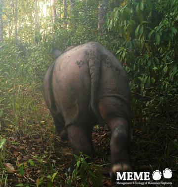 Sumatran rhino in Indonesia. Mainland Southeast Asia may have lost all its rhinos. Will elephants be next? Photo by: Deden Jaya Sutisna, Firmann Aldy, Kim McConkey, and Ahimsa Campos-Arceiz.
