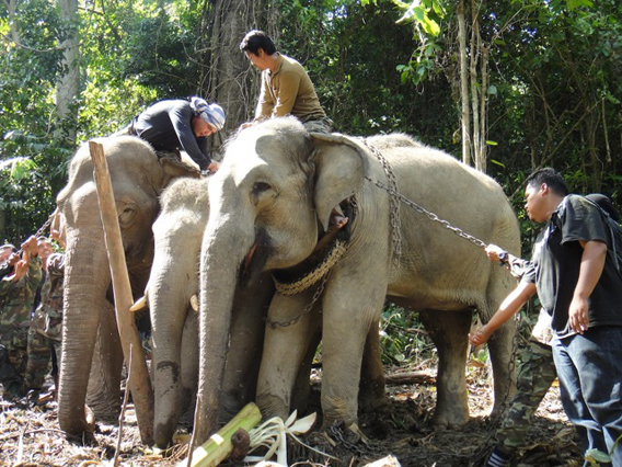 Elephant translocation operation by the Malaysian Department of Wildlife and National Parks. Photo courtesy of Ahimsa Campos-Arceiz.
