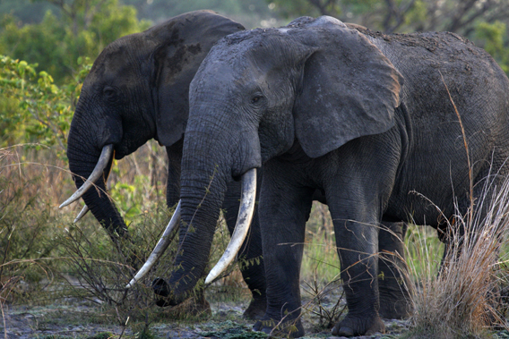 Two elephants in Garamba National Park. Photo by: Nuria Ortega.