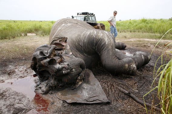 Elephant slaughtered by poachers for its ivory. Photo by: Nuria Ortega.