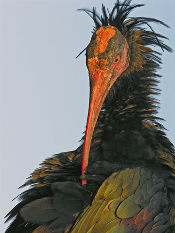 The peculiar features of the northern bald ibis: bald and red head, elongated and loose feathers of the hind neck and iridescent body plumage. Photo @ J. Crisalli.