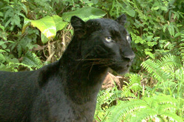 A melanistic leopard, more popularly known as a 'black panther,' photograph in the Kenyir Wildlife Corridor. Photo courtesy of Reuben Clements.