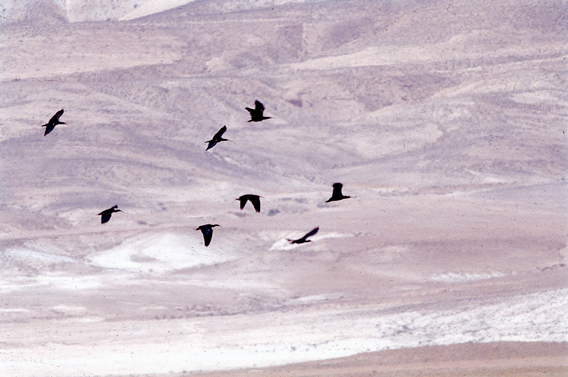 The last flock of northern bald ibis, belonging to the eastern population, flying over the Syrian desert in spring 2003. Photo @ G. Serra.
