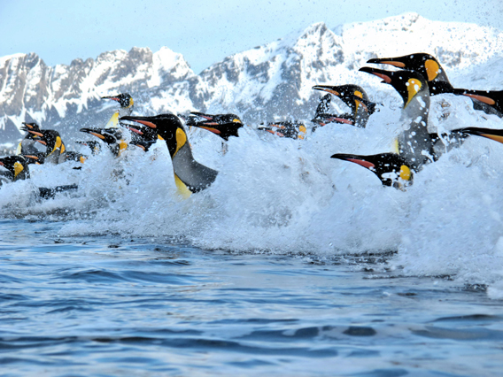King penguins (Aptenodytes patagonicus), one of the few penguins listed as Least Concern by the IUCN Red List. Photo by: Carl Safina.