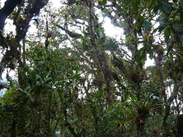 Cloud forest in the Tabaconas-Namballe National Sanctuary Photo by: Gerardo Ceballos.