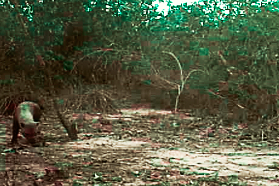 Still from camera trap video. Bush dog on left side. Photo courtesy of WWF Brasil.
