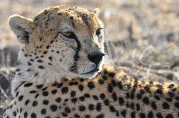 Cheetah at LWC. Photo courtesy of LWC.