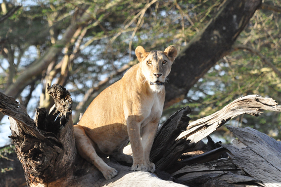 African lion in LWC. Photo courtesy of the LWC.