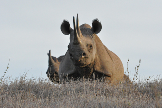 Black rhinoceros in LWC. The species is listed as Critically Endangered and is currently imperiled by poaching. Photo courtesy of LWC.