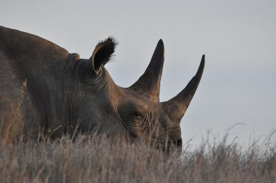 Black rhinoceros in Lewa Wildlife Conservancy (LWC). Photo courtesy of LWC.