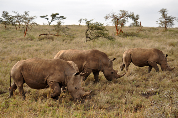 The LWC is also home to the white rhino. Photo courtesy of the LWC.