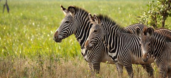 Grevy's zebra. Photo courtesy of the LWC.