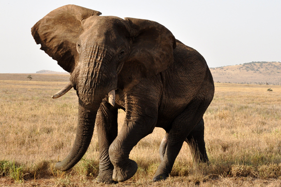 African savanna elephant in the LWC. Photo courtesy of LWC.
