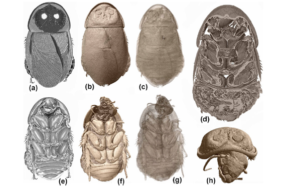 Various reconstructions of Lucihormetica luckae. Images courtesy of Vršanský et al.