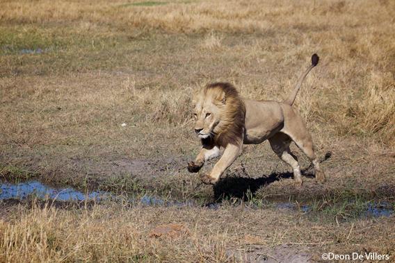 A maned lioness in Botswanna's Okavango Delta. Photo by Deon de Villers.
