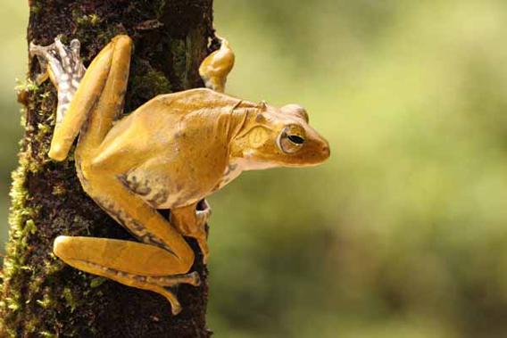 A female Polypedates ranwellai. Photo courtesy of Mendis Wickramasinghe.
