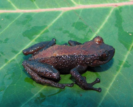 A new frog in the Pristimantis genus from Tabaconas-Namballe National Sanctuary. Photo by: Roberto Gutiérrez.