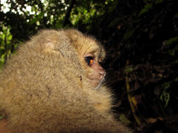 Possible new species of night monkey in the Aotus genus. Photo by: Alexander Pari.
