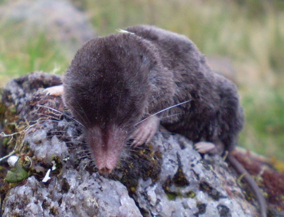 A likely new species small-eared shrew in the Cryptotis genus. Photo by: César Medina.