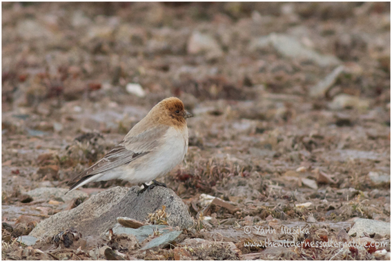 The world's first photo of a Sillem's mountain finch. This is a male taken at 5,000 meters above sea level. Photo by: Yann Muzika.