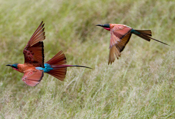 Southern carmine bee eaters are found in Lower Zambezi National Park. Photo by: Uncovery.