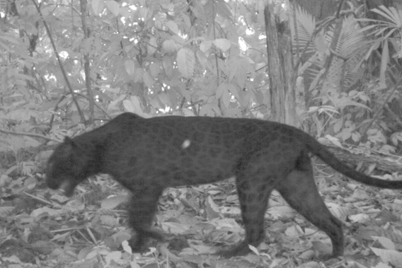 "This infrared camera trap image shows the ""rosette"" spot patterns on a black leopard. Photo courtesy of Rimba."