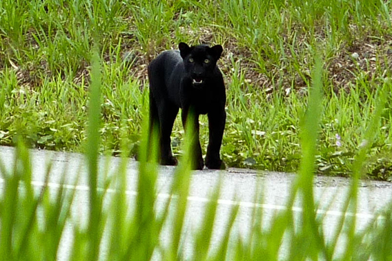 The first mammal Clements encountered in the Kenyir Wildlife Corridor was this black leopard. Photo by: Gopalasamy Reuben Clements.